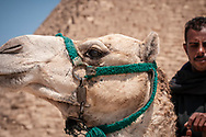 Cairo, Egypt - March 29, 2010: A camel and its Egyptian rider at the Pyramids of Giza.