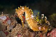 Thorny Seahorse (Hippocampus hystrix) - Indonesia