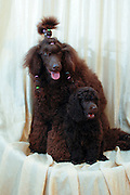 Pedigree Female Brown miniature poodle with her puppy