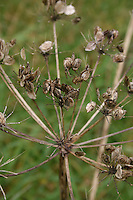 Seed heads in Irish garden