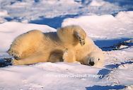 01874-08506 Polar Bear (Ursus maritimus) laying on back  Churchill  MB
