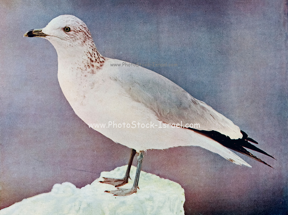 The ring-billed gull (Larus delawarensis) is a medium-sized gull. The genus name is from Latin Larus which appears to have referred to a gull or other large seabird. The specific delawarensis refers to the Delaware River. From Birds : illustrated by color photography : a monthly serial. Knowledge of Bird-life Vol 1 No 1 June 1897