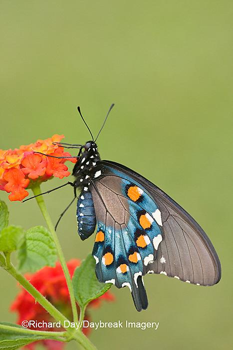 03004-00810 Pipevine Swallowtail (Battus philenor) on Red Spread Lantana (Lantana camara) Marion Co.  IL