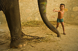 A child of a mahout, tries to touch an elephant that is used for tourists in Jaipur, Rajasthan, India. A mahout is a person who drives an elephant.  Usually, a mahout starts as a boy in the 'family business' when he is assigned an elephant early in its life and they would be attached to each other throughout the elephant's life. The Indian Elephant  is one of three recognized subspecies of the Asian elephant, and native to mainland Asia. Since 1986, Elephas maximus has been listed as endangered by IUCN as the population has declined by at least 50% over the last three generations, estimated to be 60–75 years. The species is pre-eminently threatened by habitat loss, degradation and fragmentation.