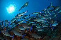 Bluetail Unicornfishes and Diver