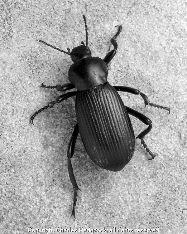 Darkling beetle, Eleodes obscurus sulcipennis, selenium toned gelatin silver print