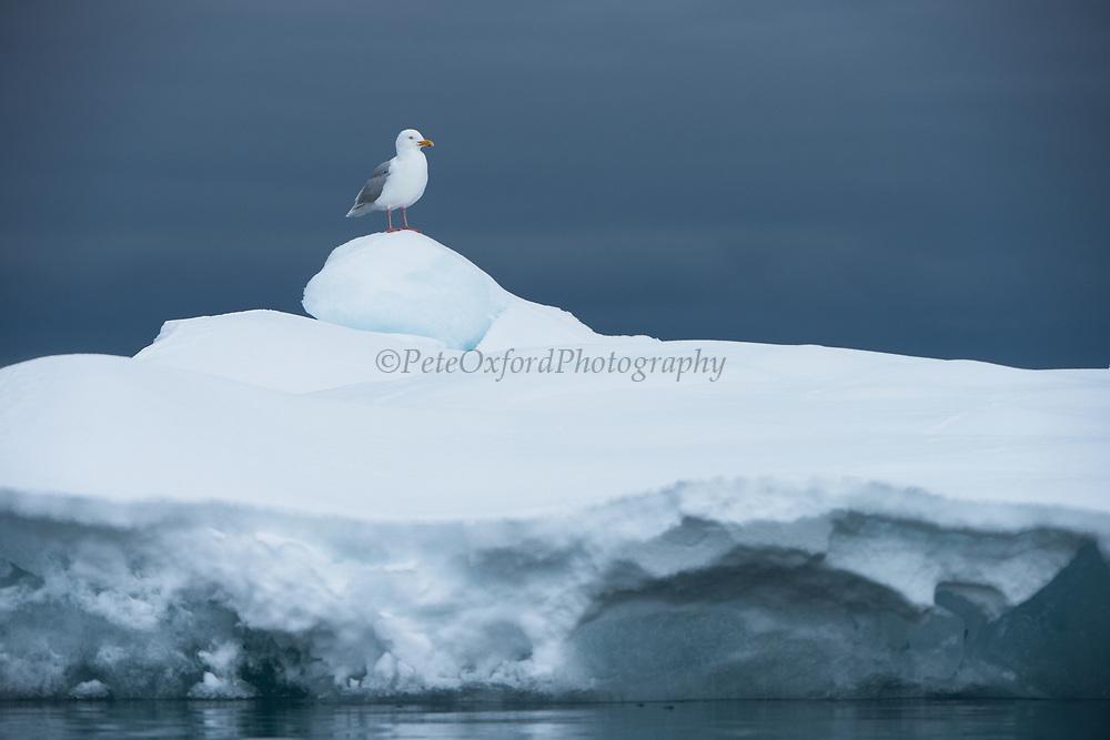 Glaucous Gull<br /> (Larus hyperboreus)<br /> Svalbard<br /> Norway<br /> Arctic Ocean