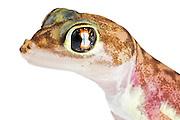 Portrait of Pachydactylus rangei, the Namib sand gecko or web-footed gecko