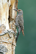 Northern Flicker (Red-shafted race) - Colaptes auratus - female