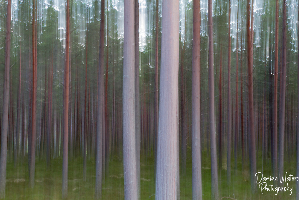 Pine trees in Scottish forest light by late evening sun, with drag effect - Scotland - April