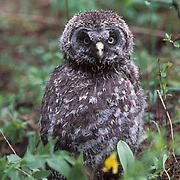 Great Gray Owl, (Strix nebulosa)  Fledgling in grass near nest. Montana.