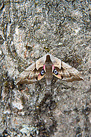 "A gorgeous one-eyed sphinx moth rests on a birch tree in Kent, Washington on a breezy early summer morning. Found primarily in the Rocky and Cascade Mountain Ranges as well as along most of the US-Canadian border where there is ample poplar and willow (host species) trees, these large perfectly camouflaged moths will flash their brightly-colored warning signs including ""false eyes"" if disturbed."