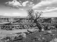 Bristlecone Pine Tree at Dead Horse Point State Park, Utah, USA