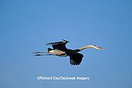 00684-02513 Great Blue Heron (Ardea herodias) in flight    FL