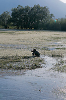 Elio della Ferrera at work along a river covered by blooming thread leaved water crowfoot (Ranunculus trichophyllus), Livansko Polje, Bosnia-Herzegovina.<br /> Elio della Ferrera / Wild Wonders of Europe