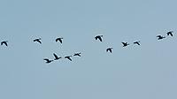 Canada Goose (Branta canadensis). Image taken with a Nikon N1V3 camera and 70-300 mm VR lens.