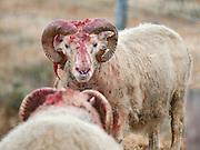 Sheep fighting