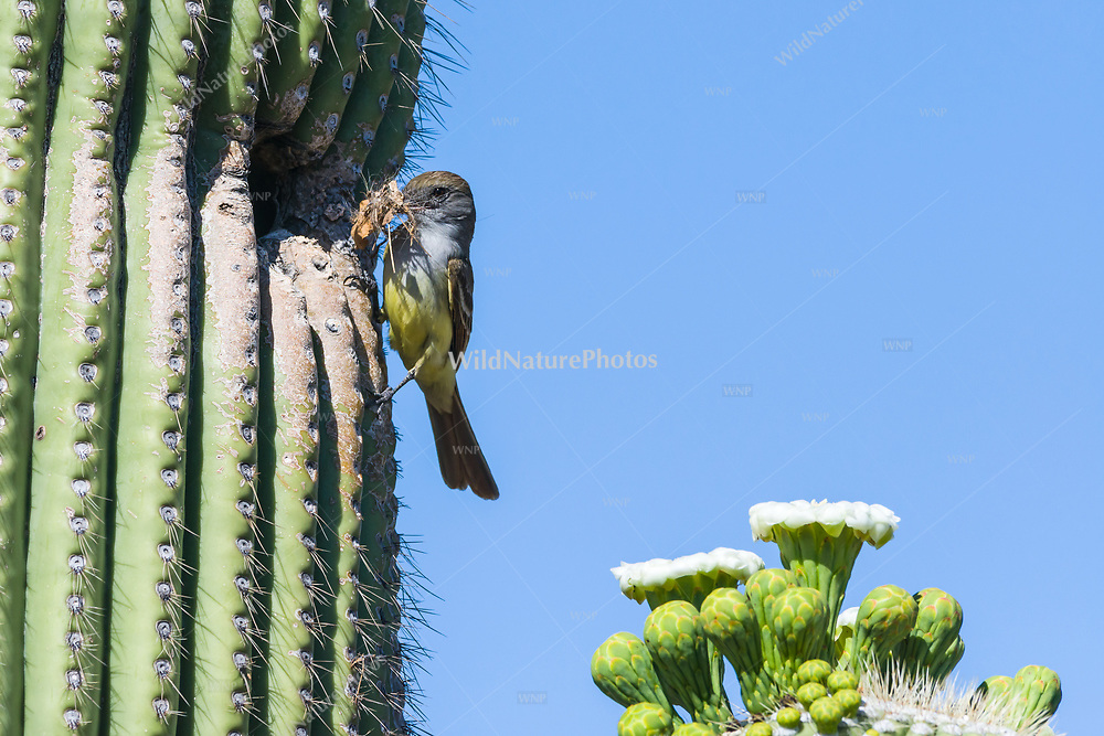 A Brown-crested Flycatcher, (Myiarchus tyrannulus brings nesting materials to a cavity in a Saguaro (Carnegiea gigantea). Tucson