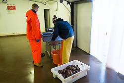 © Licensed to London News Pictures. 03/04/2014<br /> <br /> Whitby, North Yorkshire, United Kingdom<br /> <br /> Fishermen check the weight of their catch of lobsters at Whitby, North Yorkshire. <br /> <br /> Photo credit : Ian Forsyth/LNP