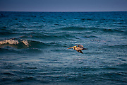 Brown pelican in flight off the Florida coast in the Gulf of Mexico by Anna Maria Island, United States of America