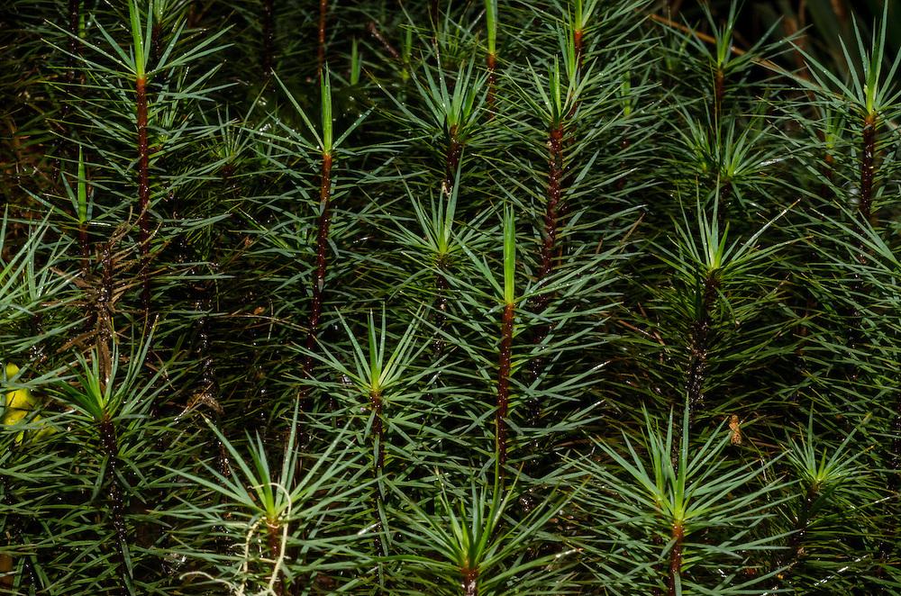Te Urewera National Park,Largest Moss in the world, Dawsonia superba