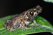 Ecuador, May 5 2010: A frog sits on a leaf. Copyright 2010 Peter Horrell