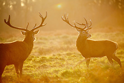 © Licensed to London News Pictures. 13/01/2016. London, UK. Deer eating at sunrise in Richmond Park in London following one of the coldest nights in a year as temperatures in the capital drop as low as -1C on Wednesday, 13 January 2016. Photo credit: Tolga Akmen/LNP