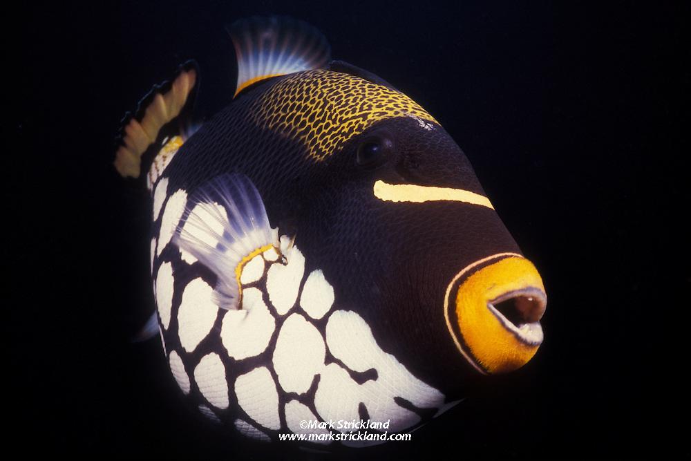 A curious Clown Triggerfish, Balistoides conspicillum, peers into the photographer's lens. Similan Islands Marine National Park, Thailand, Andaman Sea