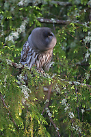 Great grey owl (Strix nebulosa) shaking head in spruce tree,       Bergslagen, Sweden.