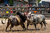 Songkhla Bullfighting - 2014