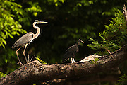 Cocoi Heron (Ardea cocoi)<br /> Rainforest<br /> Rewa River<br /> Iwokrama Reserve<br /> GUYANA. Argentina, Bolivia, Brazil, Chile, Colombia, Ecuador, French Guiana, Guyana, Panama, Paraguay, Peru, Suriname, Uruguay, and Venezuela. It is a non-breeding visitor to Trinidad and Tobago and a vagrant to the Falkland Islands and Tristan da Cunha.