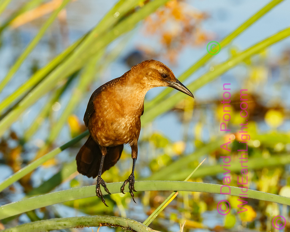 Boat-tailed grackle female foraging, perched on cattail blade, wetland marsh, © David A. Ponton