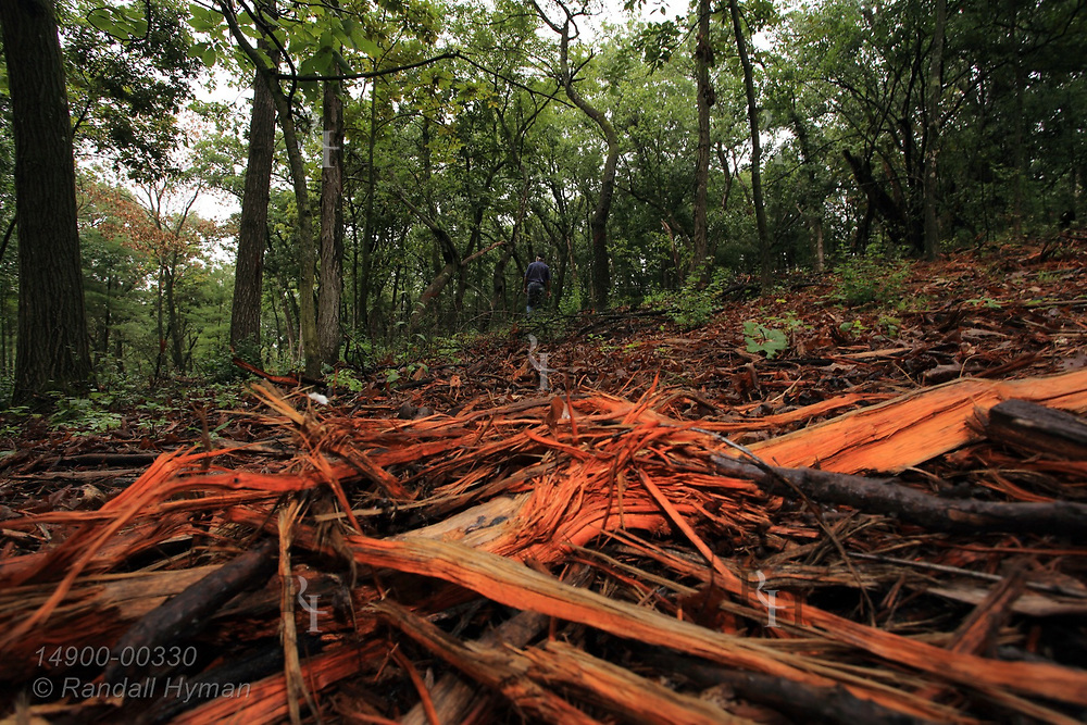 Recently mulched forest, dyed orange by triclopyr herbicide to prevent return of invasive buckthorn and honeysuckle in understory, sits near Ice Age National Trail in Kettle Moraine State Forest; Eagle, Wisconsin.