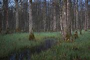 Slightly fog covered river Vēršupīte meanders through riparian forests with ash (Fraxinus excelsior) and black alders (Alnus glutinosa), Kemeri National Park (Ķemeru Nacionālais parks), Latvia Ⓒ Davis Ulands | davisulands.com
