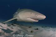 lemon shark, Negaprion brevirostris, Little Bahama Bank, Bahamas ( Western Atlantic Ocean )