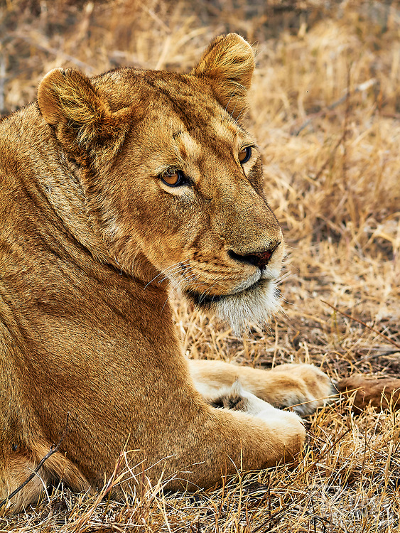 Portrait of a lioness relaxing in the grass.<br />