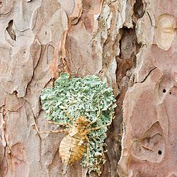 Lichen on the bark of a red pine tree near Seboeis Lake.  Near Millinocket, Maine.