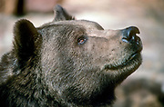 Portrait of a grizzly bear (Ursus arctos horribilis), also known as the North American brown bear or simply grizzly, is a population or subspecies of the brown bear inhabiting North America.