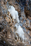 Two Mountain Goats moving across a steep rock face in the Snake River Canyon near Jackson Hole, WY.
