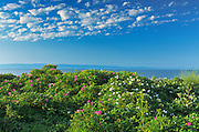 Wild roses along the St. Lawrence River<br /> L'Isle-aux-Coudres<br /> Quebec<br /> Canada