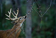 White-tailed deer eating the last acorns of winter from tree - Mississippi.