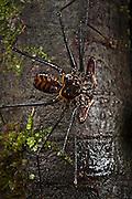 Tailless Whip Scorpion (order Amblypygi)<br /> Yasuni National Park, Amazon Rainforest<br /> ECUADOR. South America