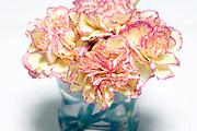 Carnation flower still life