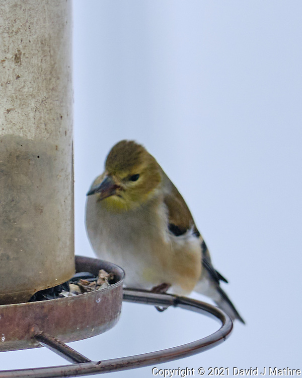 American Goldfinch (Spinus tristis). Image taken with a Fuji X-T3 camera and 200 mm f/2 lens and 1.4x teleconverter