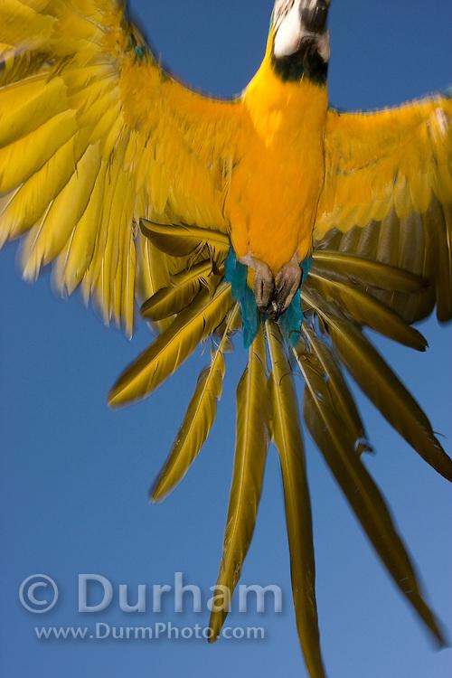blue and gold macaw (Ara araaarauna) flying.