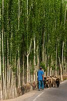 Herding sheep south of the Taklamakan Desert on the south route of the Silk Road, near Lake Dawakul, Xinjiang Province, China.