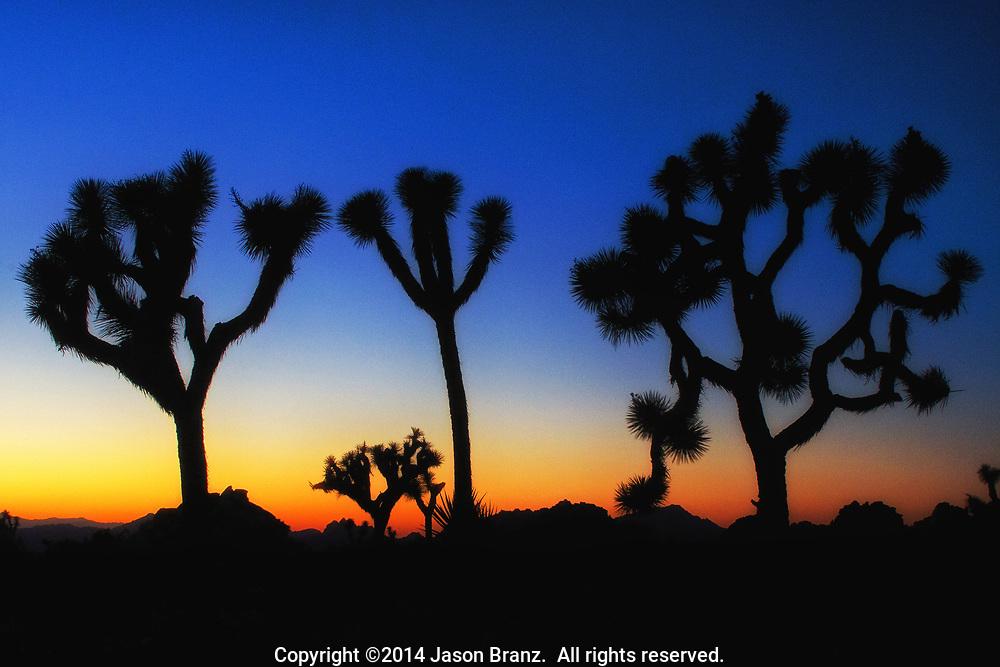 Sunset silhouette of Joshua trees, Joshua Tree National Park, California.