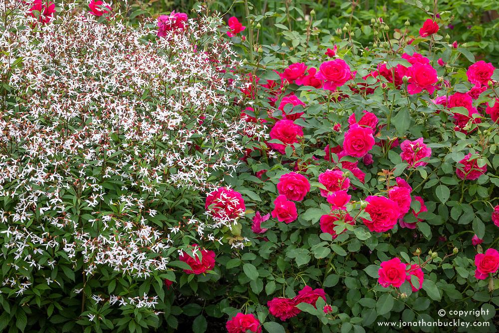 Rosa Sir John Betjeman' with Gillenia trifoliata