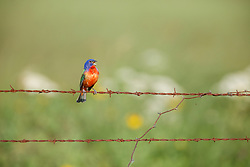 Painted bunting perched on barbed wire on the Daphne Prairie, a remnant of the Blackland Prairie, Mount Vernon, Texas, USA. Check identification.
