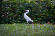 Profile photo of a Great White Heron Egret standing in the grass